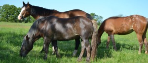 George, Chiquita and Annie grazing last Spring.